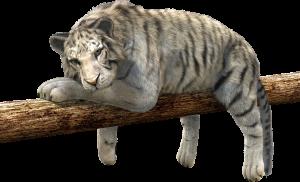 tiger-528890_1280
